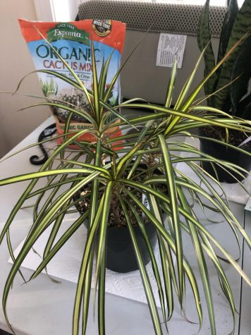 "The first plant Kate ever brought home was a Dracaena. She  said it is to this plant she is thankful because it ""made her  thumb as green as it is now."""